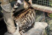 Stunning Pedigree Toyger Kittens For Sale.