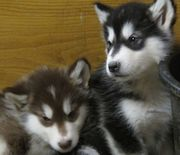 Beautiful Kc Registered Alaskan Malamutes