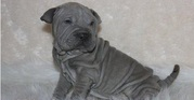 playful with kids Chinese Shar-Pei Puppies