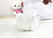 VCNC  Stunning XXS size tiny uncomplicated,  gentle,  Pomeranian For Sal